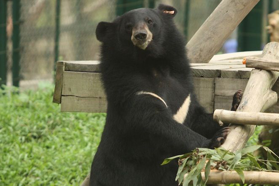 Bear rescued by Animals Asia